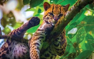 Oncilla-wild-cat-in-costa-rica cat Lepardus-Tigrinus-Known-as-little-spotted-cat